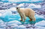 Eisbär auf Eis